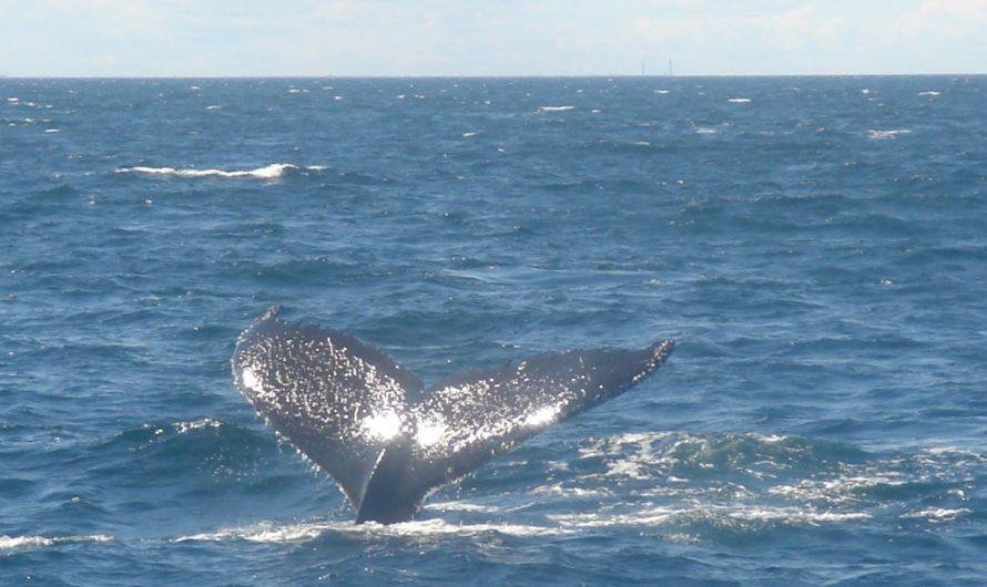 Avistando ballenas en Boston