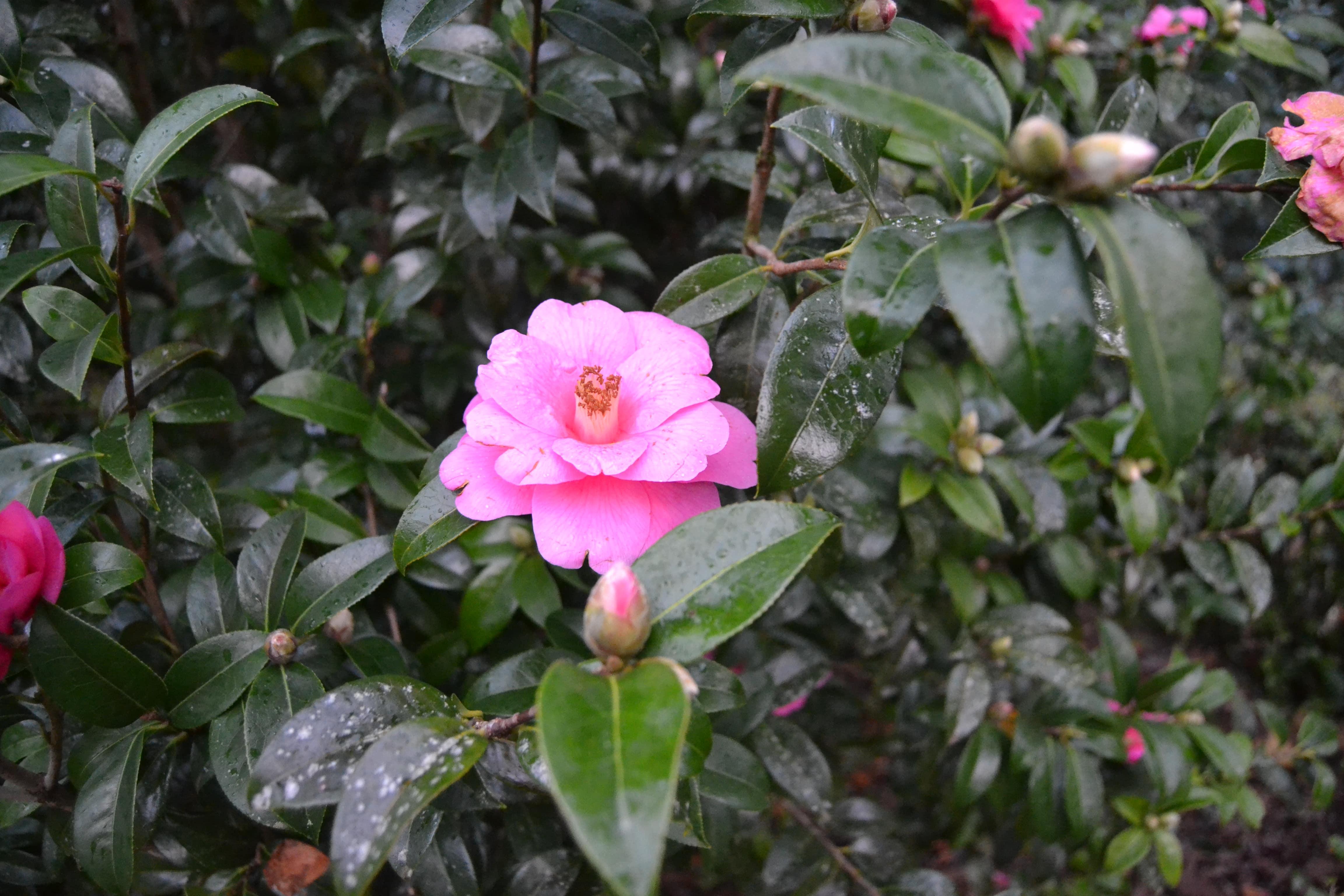 Flores en el jardín botánico de Sao Miguel