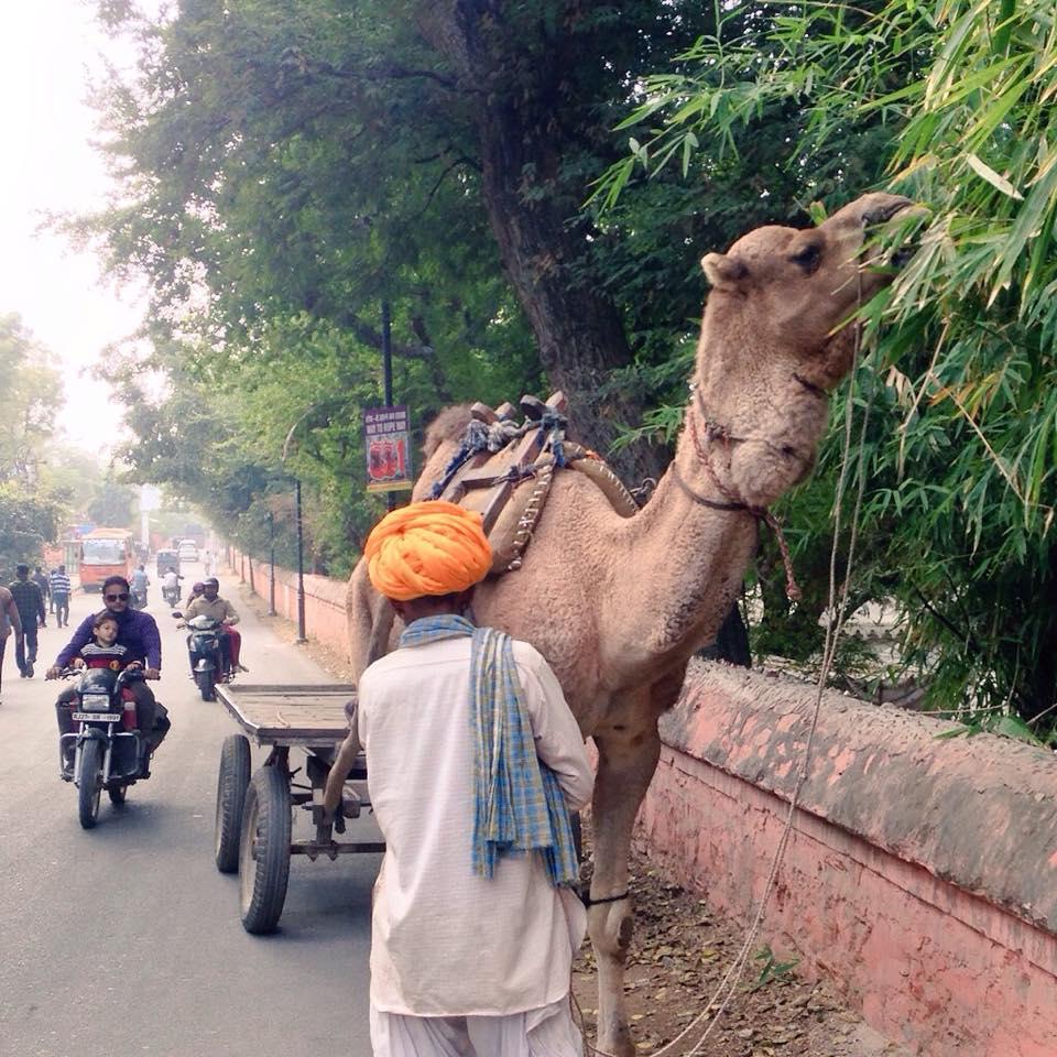 Camello repostando en Udaipur, cosas que se ven al viajar de mochilero a India