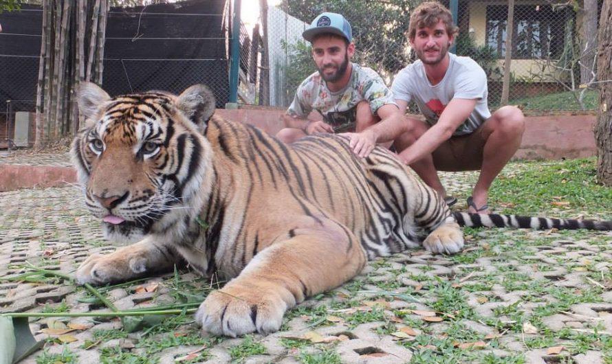 Ver tigres en el Tiger Kingdom de Chiang Mai