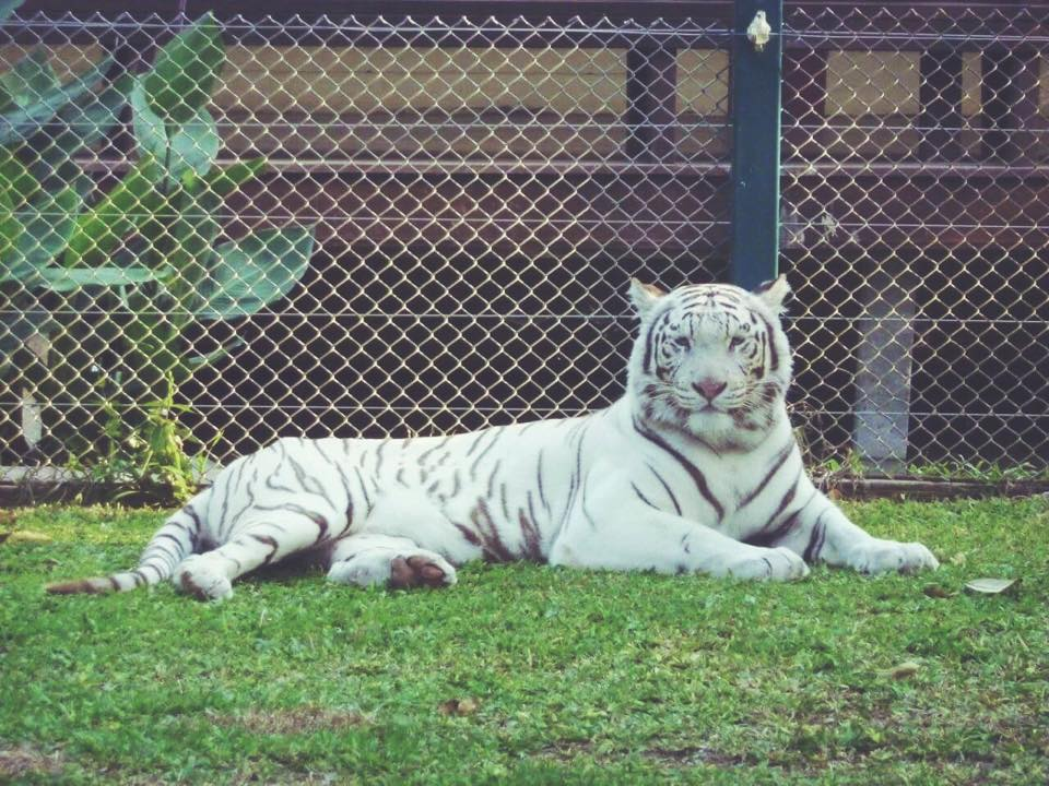ver tigres en chiang mai
