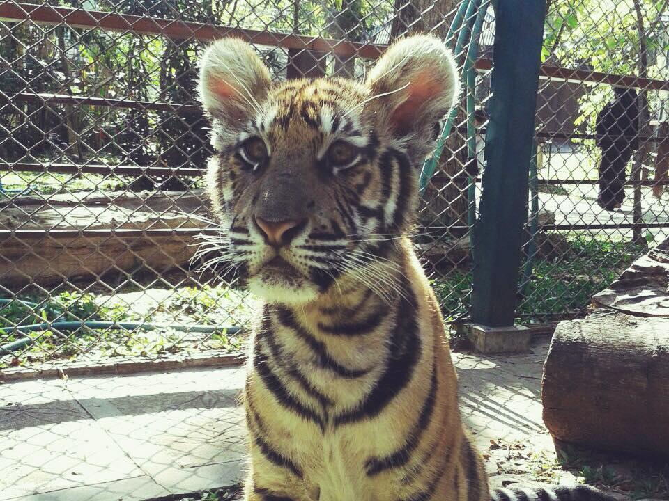 Tigre Kingdom Chiang Mai