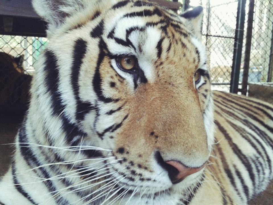 ver Tigres en Tailandia