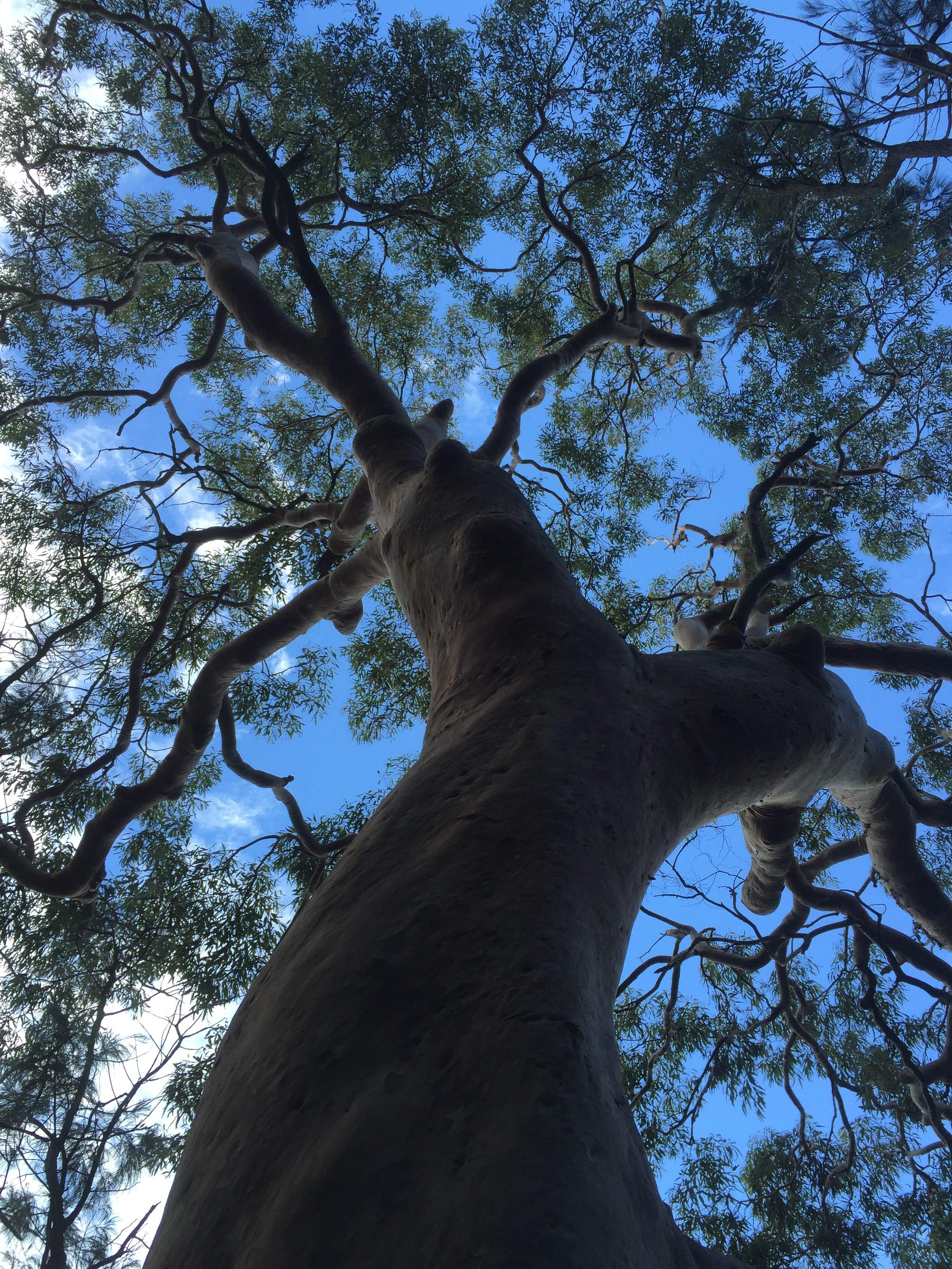 Los famosos Gumtree cerca de Sídney. Una de las cosas que ver en Sídney y alrededores