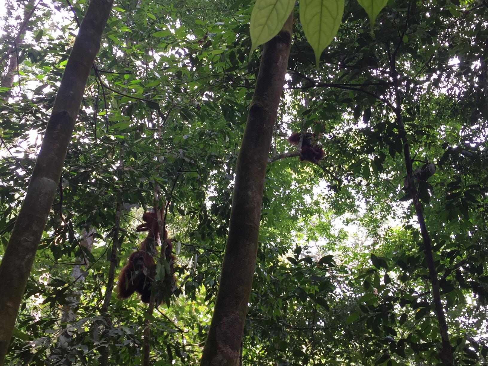 Orangutanes en Sumatra, en el Trekking de Bukit Lawang