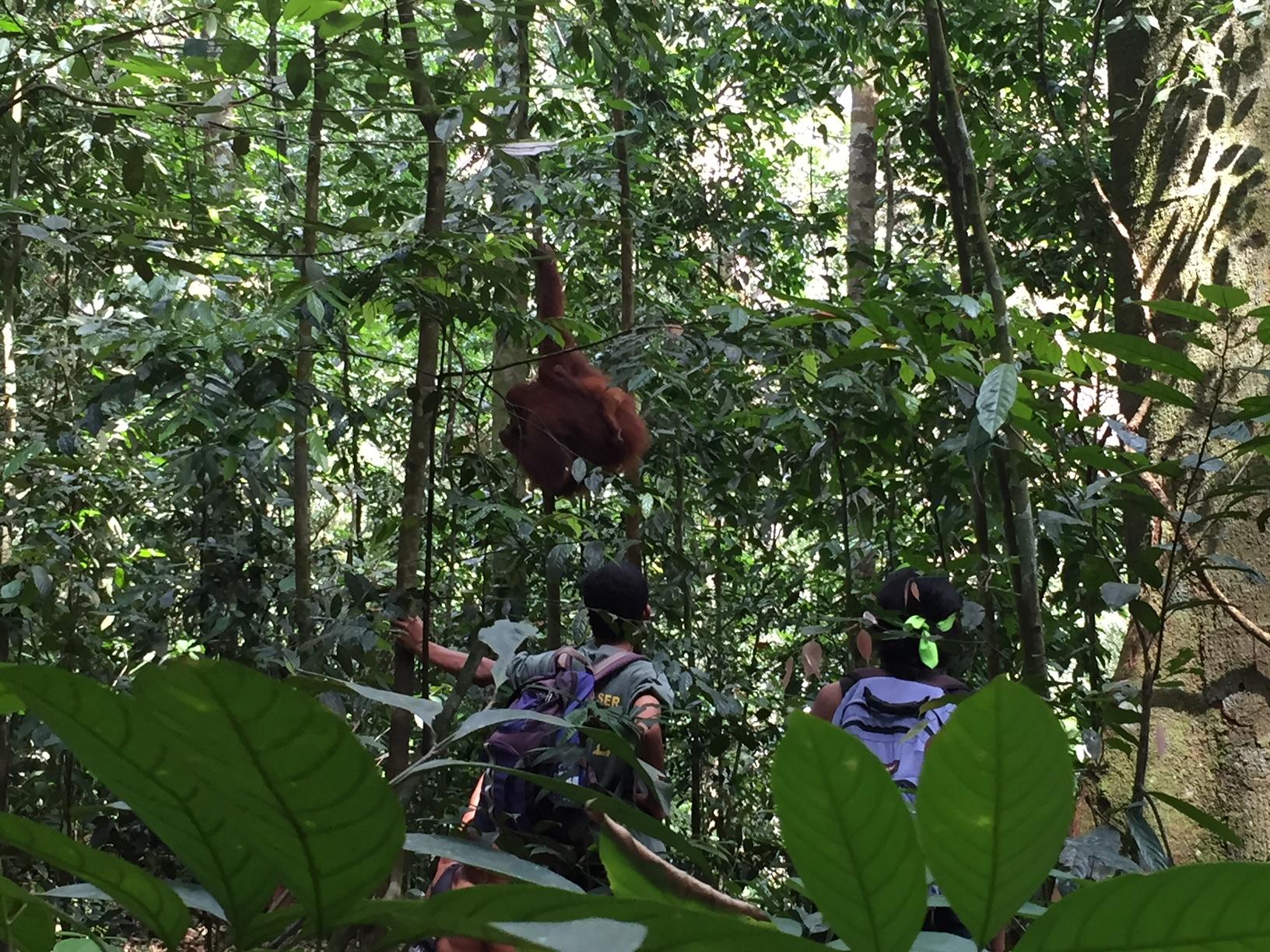 Orangutanes de Sumatra en Bukit Lawang, en el trekking