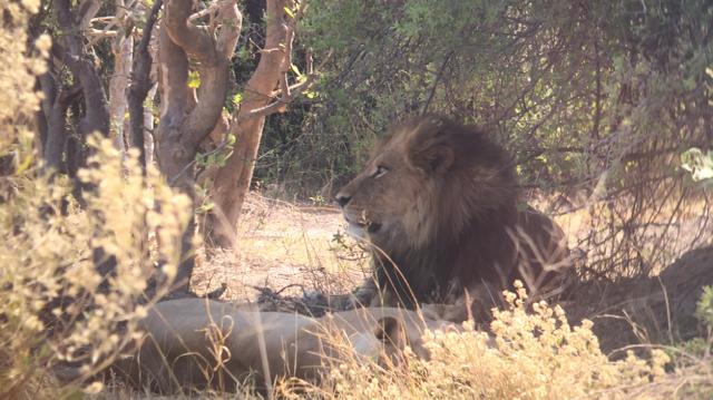 Dos leones descansando en la sombra (Moremi, Botsuana)