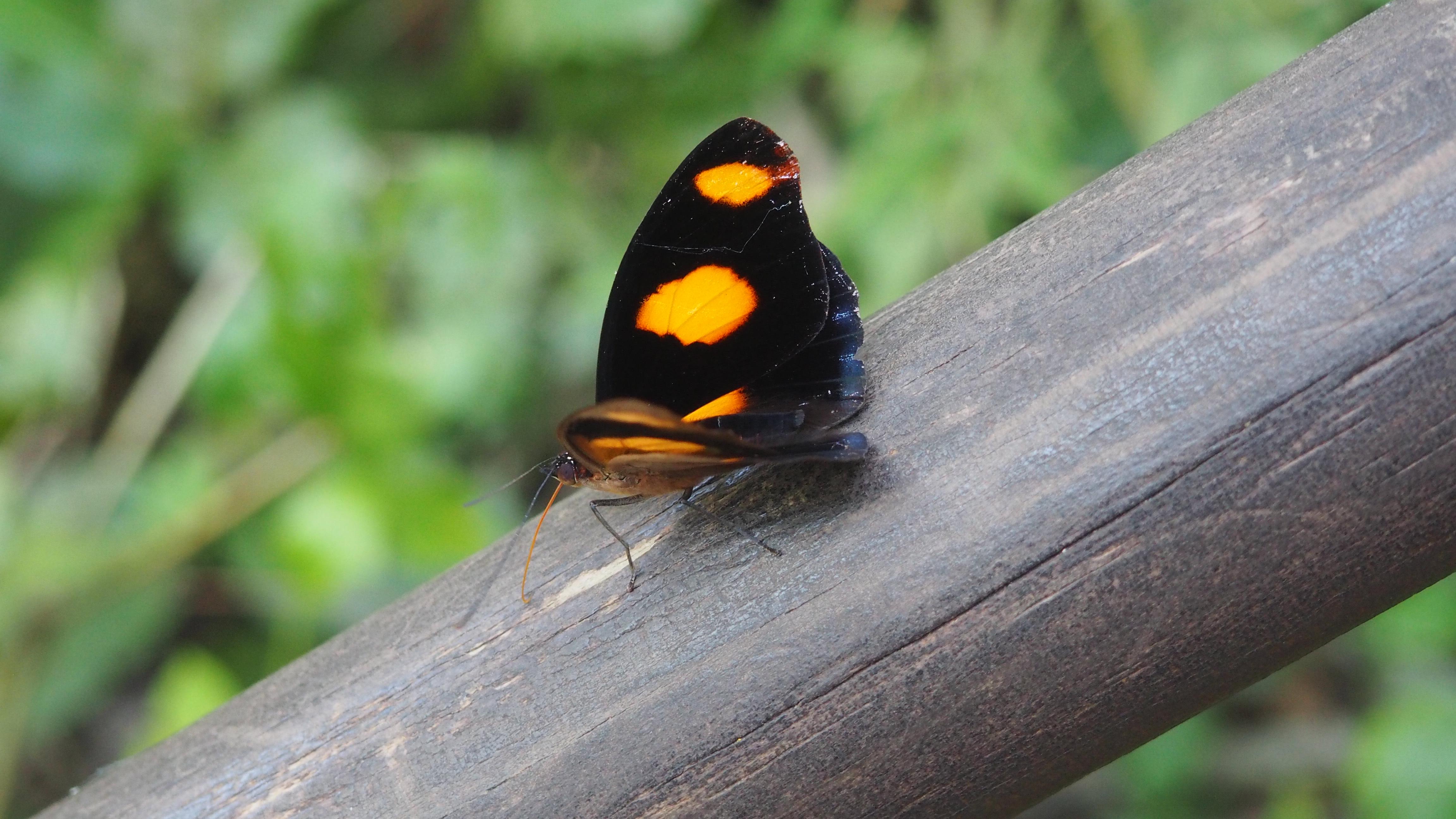 Uno de los muchos tipos de mariposa que se pueden ver al visitar el lado argentino de las Cataratas de Iguazú