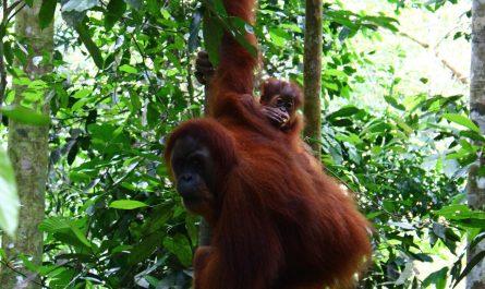 Bukit Lawang Trekking Orangutanes en Sumatra Indonesia