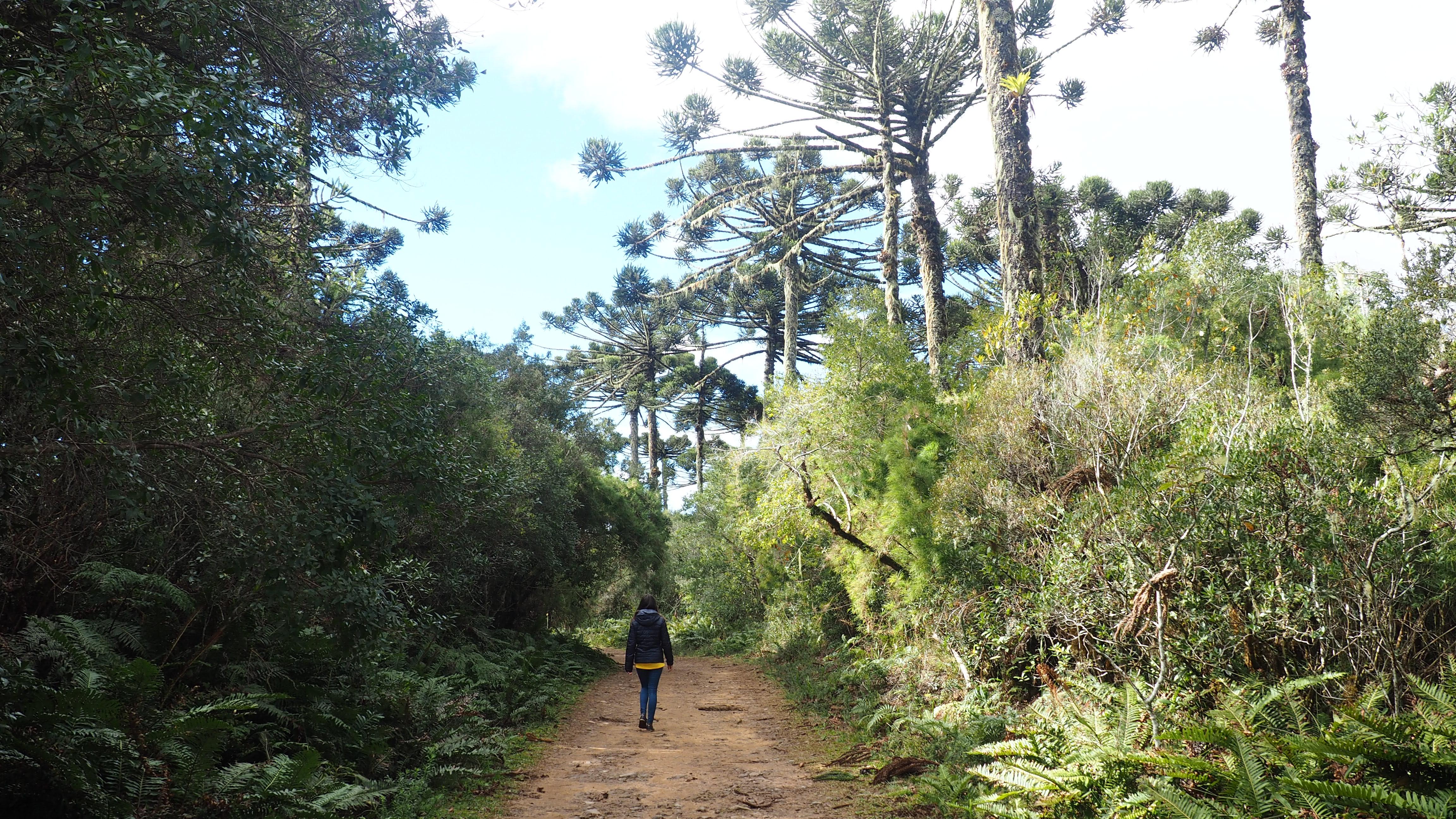 Miren paseando por el bosque de araucaria, cómo llegar al cañón de Itaimbezinho