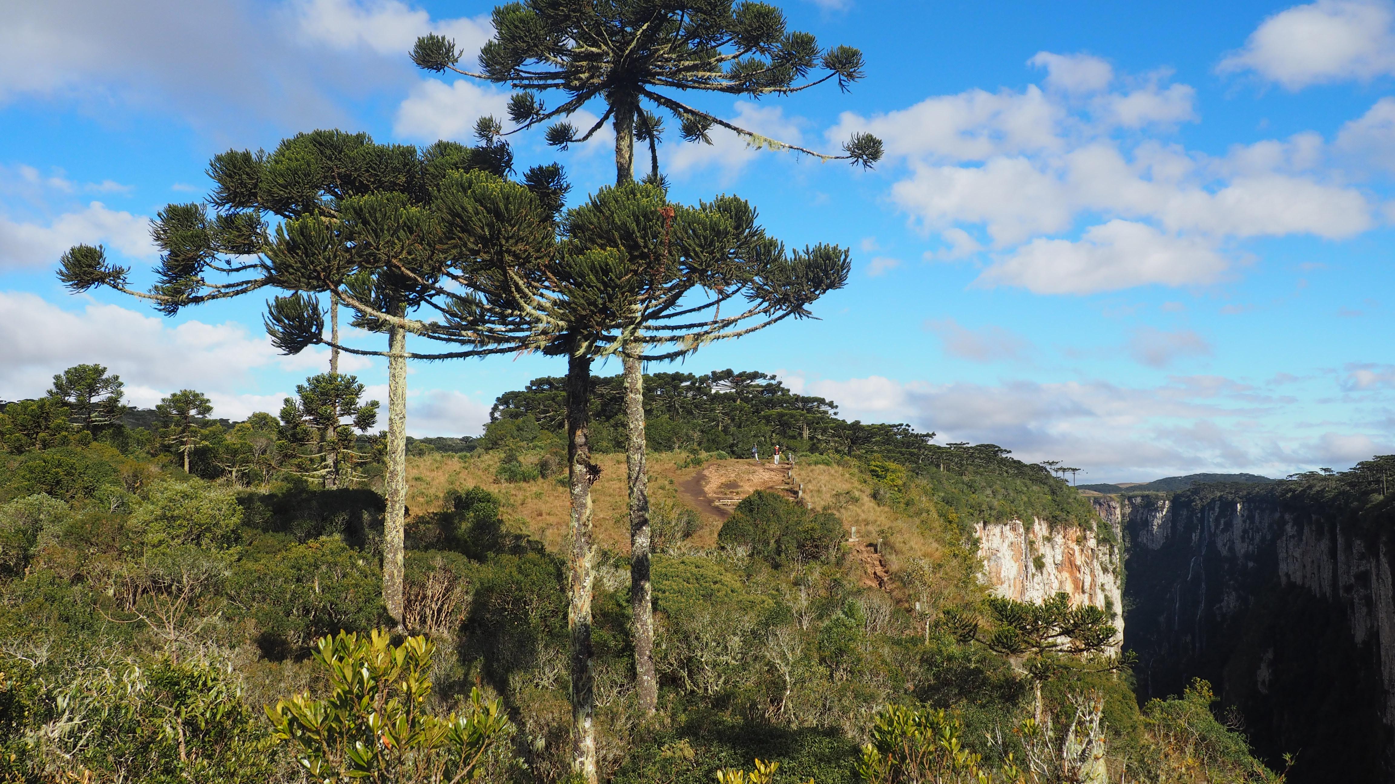 qué ver en el Cañón de Itaimbezinho, pinos de araucaria en el borde del cañón