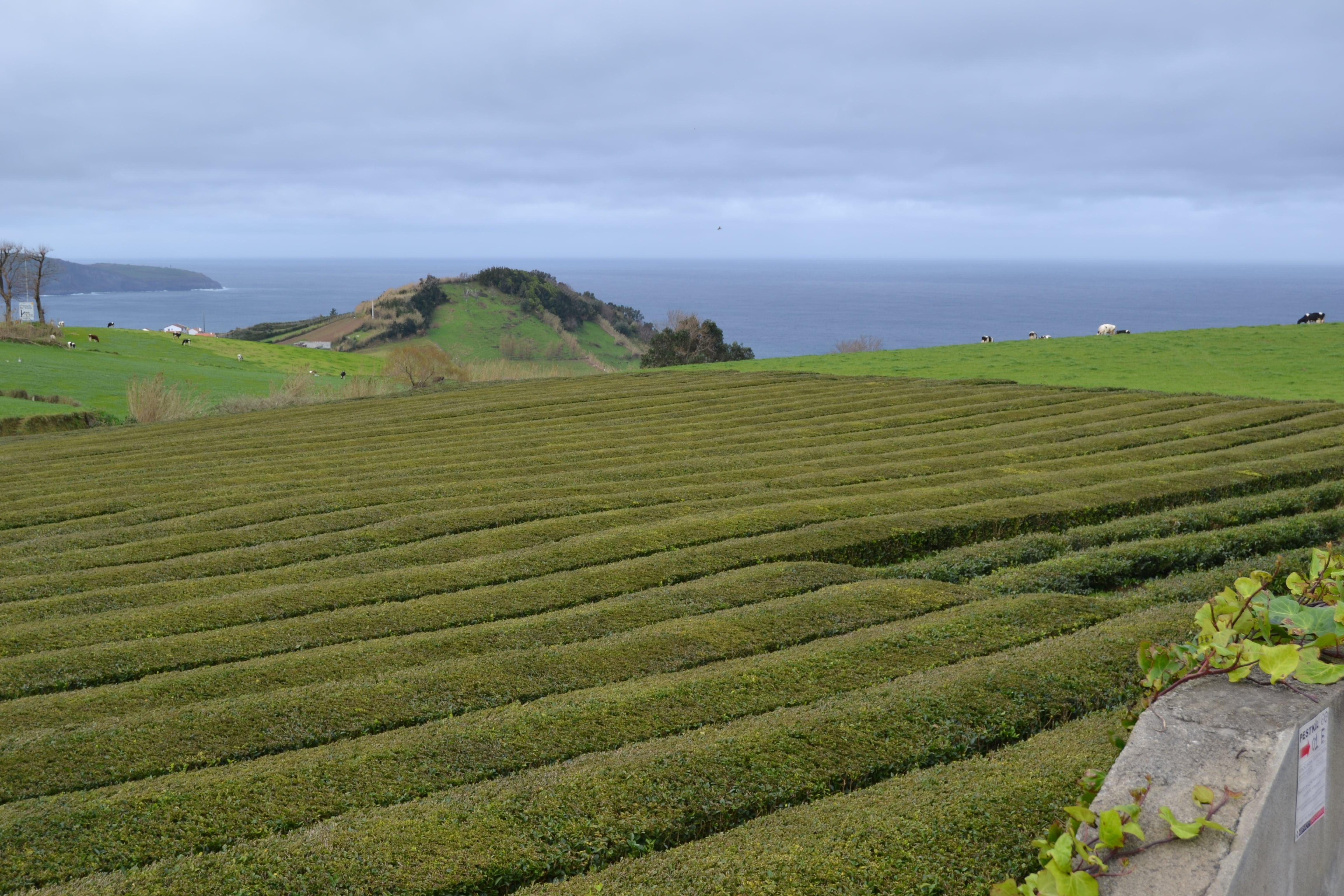 Plantaciones de té alrededor de la fábrica de Cha Gorriana