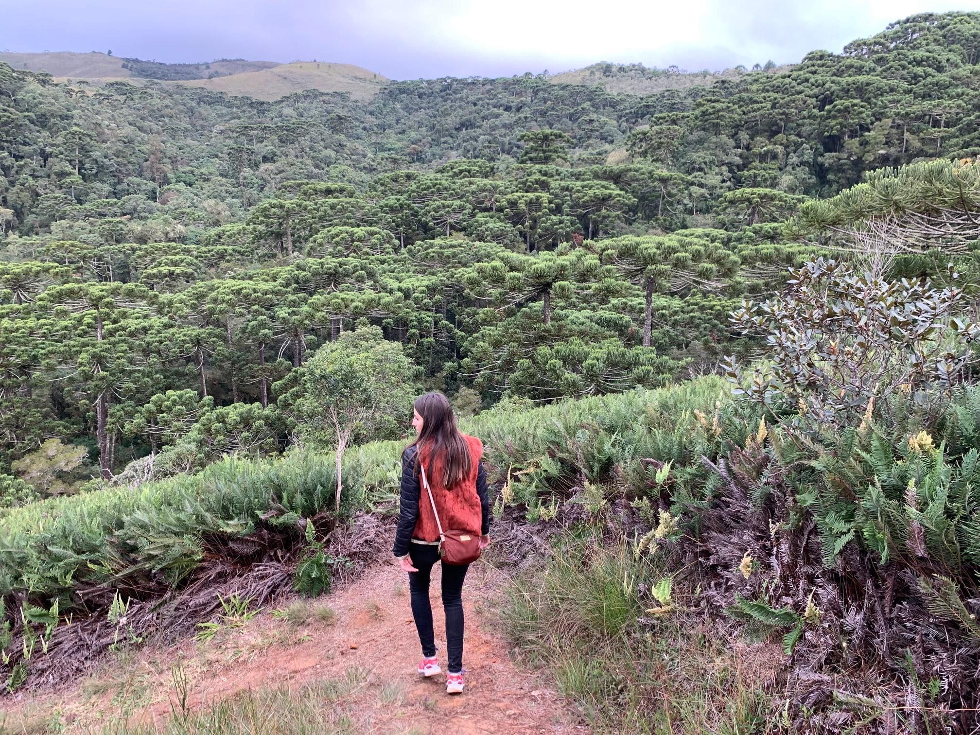 Bosque de araucaria