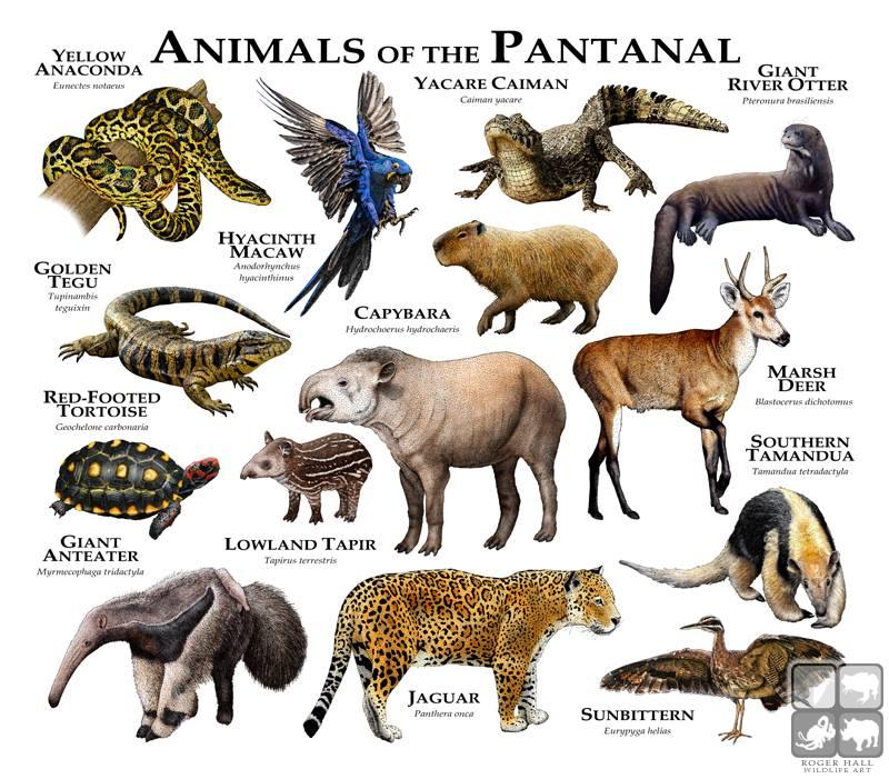 Los animales del Pantanal de Brasil, las mejores cosas que ver