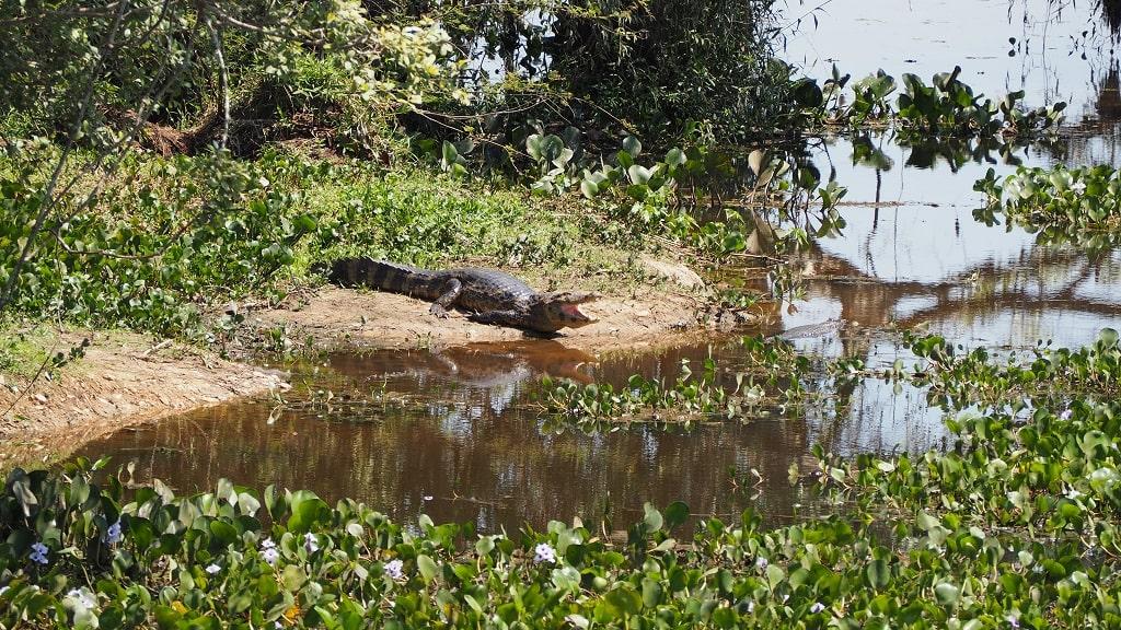 ¿Qué hacer en el Pantanal? Ver animales