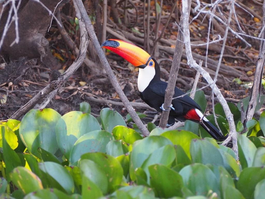 Foto del tucán desde la lancha (Pantanal, Brasil)