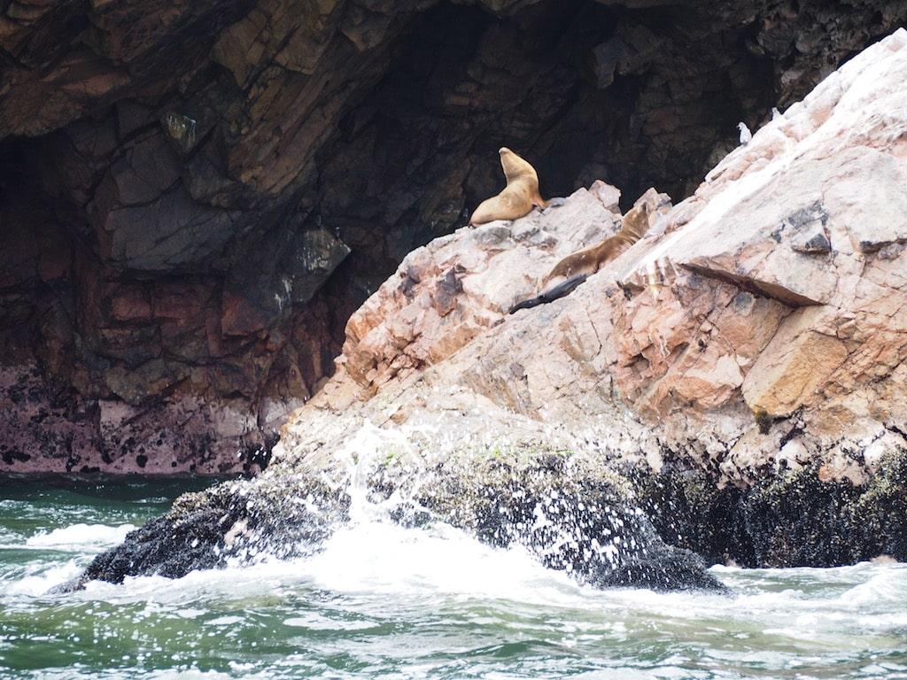 León Marino en las Islas Ballestas