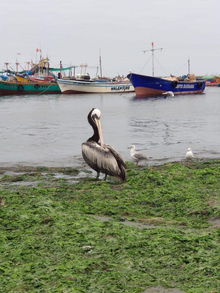 Pelícano en el Malecón del Chaco