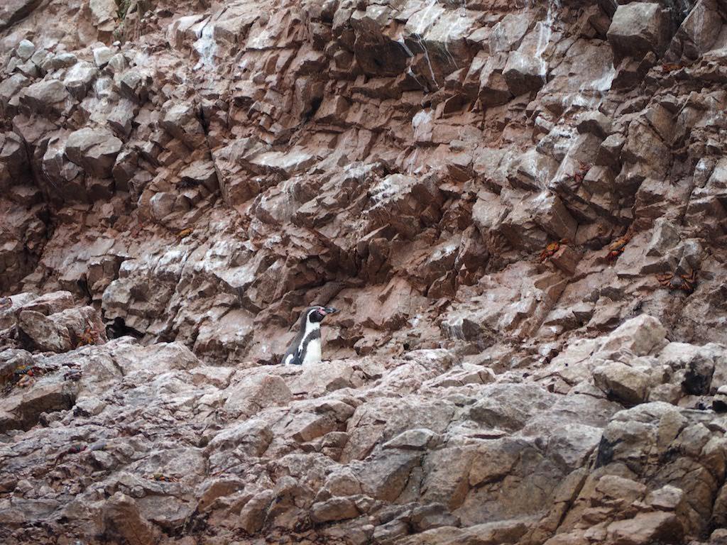 Pingüino en las Islas Ballestas (Paracas)